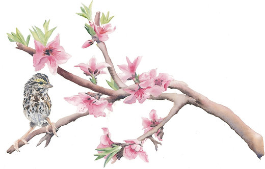 Finch on Apple Blossum