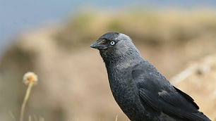 1.2 The Jackdaw