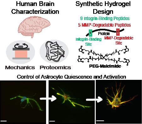 Brain-mimicking Hydrogels