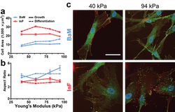 Smooth muscle cell stiffness sensing