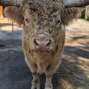 DUDLEY THE SCOTTISH HIGHLAND BULL FEATURED IN THE BOSTON GLOBE