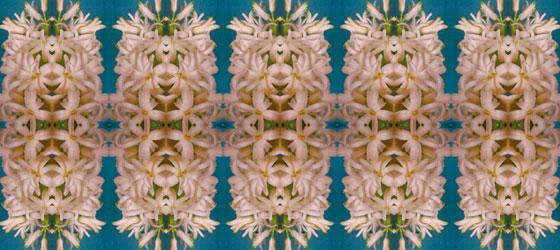 Hyacinthus-01-01