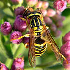 Yellow Jacket/Wasp