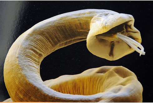 Lungworm (1).jpg
