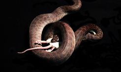 Serpiente que come el ratón