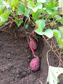 Sweet potatoes Farm