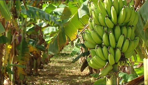 Banana Farms