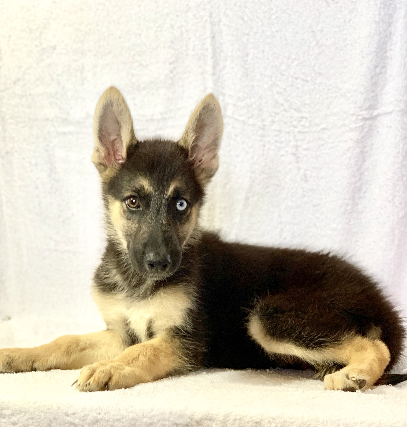 Puppies For Sale Near Me | Your Dream Puppy