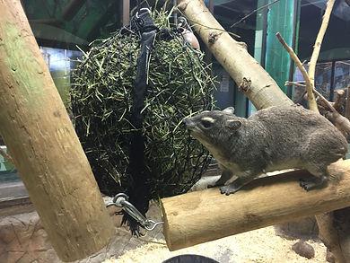 Hyrax using Knaughty Nets Snack Net