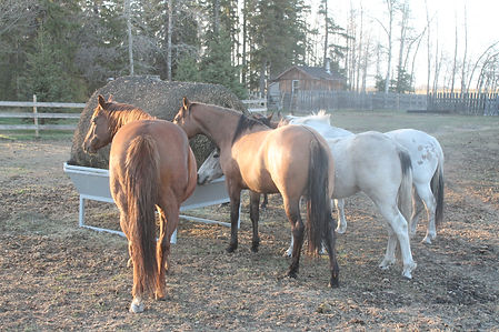 horses eating out of a metal round bale slow feed hay net