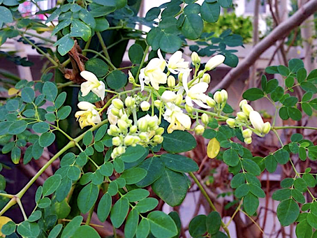 6 Health Benefits of Moringa oleifera