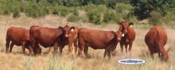 Red Heifer 3