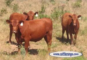 Red Heifer 2