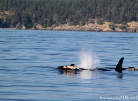 Orca recovery goes high pitch