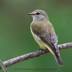 Lemon-bellied Flycatcher 6I2A0165fc.jpg