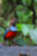 Red-bellied Pitta tour Cape York birding tours