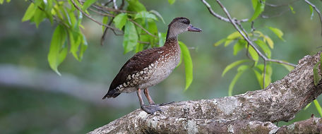 Spotted Whistling-Duck 6I2A1190ws.jpg