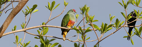 Rose-crowned Fruit-Dove 6I2A0848w.jpg