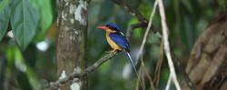 Buff-breasted Paradise-Kingfisher6I2A145
