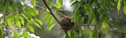 Superb Fruit-Dove 6I2A1426web