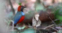 Papuan Pitta 6I2A5141fc_edited.jpg