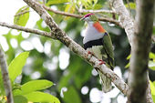 birding tours Port Douglas , bird watching Port Douglas