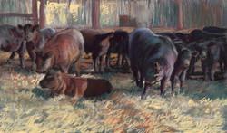 Angus Cows at JR Ranch just under 2mb