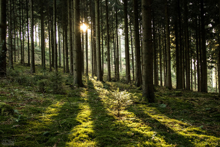 Rays in the wood