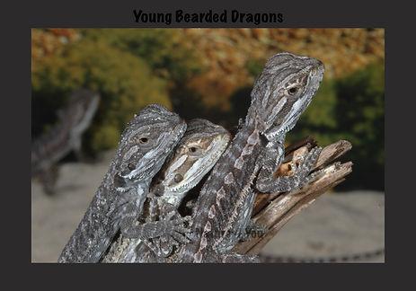 Bearded Dragon, Nature 4 You, dragon, lizard