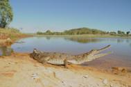 Freshwater Crocodile, Crocodylus johnstoni  - Juvenile