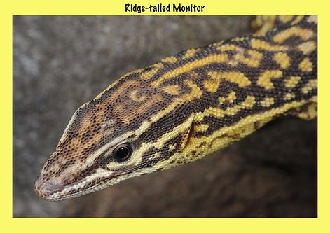 Ridge-tailed Monitor, Nature 4 You, Ackie, goanna, reptile