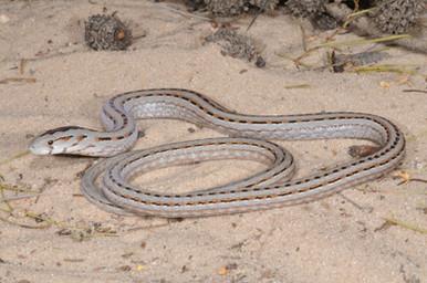 Common Scaly-foot, Pygopus lepidopodus
