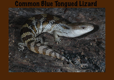 Common Blue-tongued Lizard, Tiliqua scincoides scincoides, Nature 4 You, skink, lizard, reptile