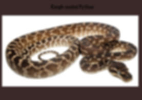 Rough-scaled Python, Morelia carinata, python, Nature 4 You, snake, reptile