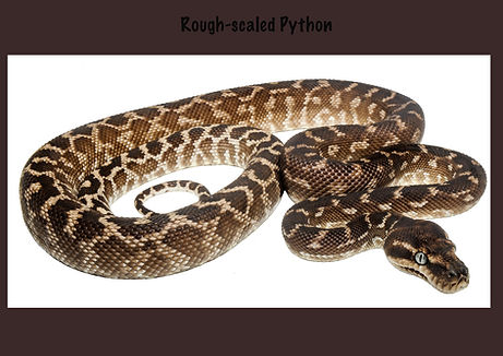 Rough-scaled Python, Morelia carinata, python, Nature 4 You, snake, reptile