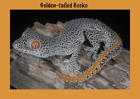 Golden-tailed Gecko, Nature 4 You, gecko, lizard, reptile
