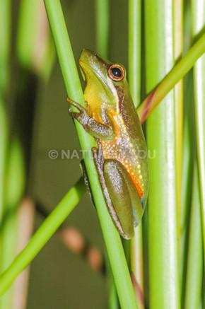 Olongburra Sedge Frog