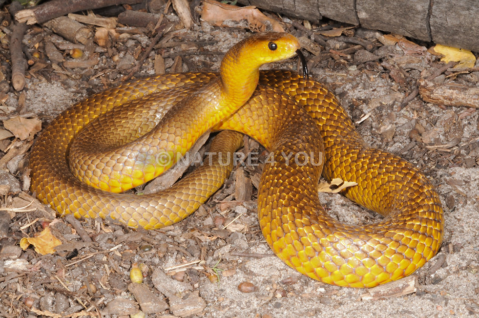 Northern Brown Snake, Pseudonaja nuchalis, reptile, cold blooded, pet herp, Australian Reptile, Australian Snake, elapid, venomous, snake,brown snake, Nature For You