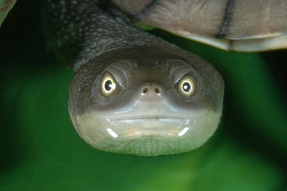 Eastern Long-necked Turtle, Chelodina longicollis
