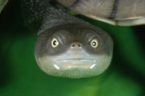 Eastern Long-necked Turtle, Chelodina longicollis