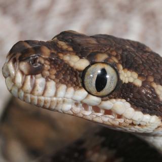 Rough-scaled Python, Morelia carinata