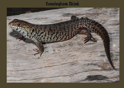 Cunnngham Skink, Nature 4 You, Egernia cunninghami, lizard, skink, reptile