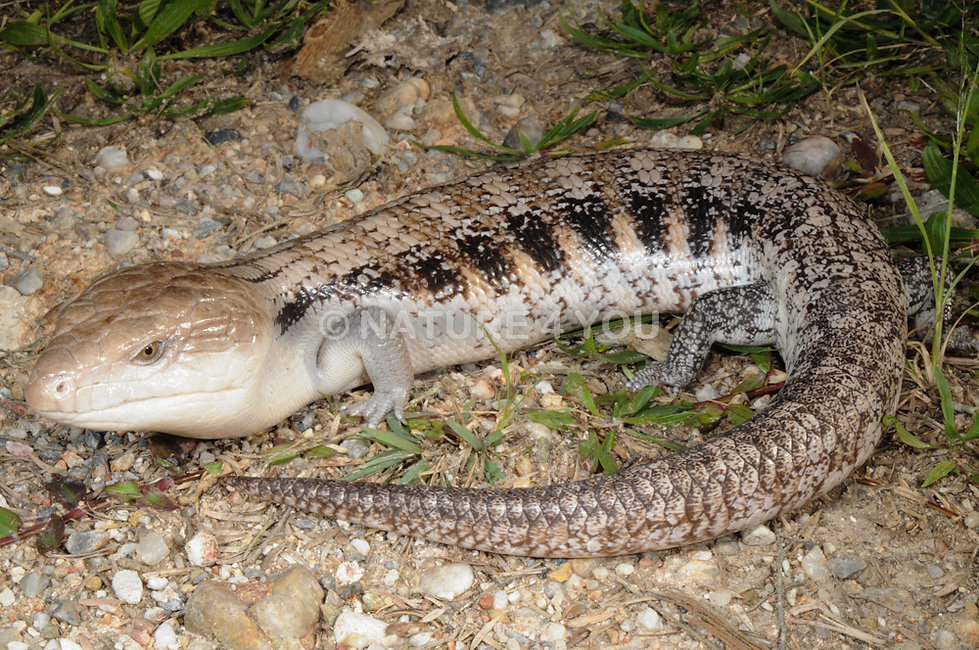 Northern Blue Tongue, skink, lizard, reptile, bluey, Nature For You, Tiliqua scincoides intermedia