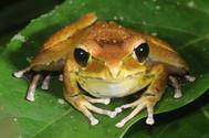 Jungguy Tree Frog,  Litoria jungguy