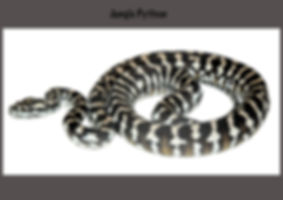 Carpet python, Morelia spilota, Nature 4 You, jungle python, python, snake, reptile