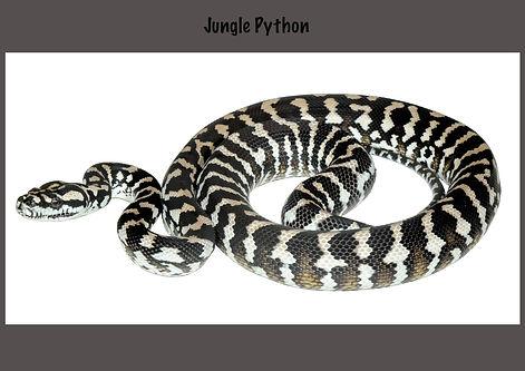 Carpet python, Morelia spilota, Nature 4 You, jungle python, python, snake, reptile