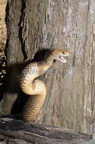 Eastern Brown Snake, Pseudonaja textilis, venomous snake, Australian venomous snake, Australian bush, reptile, snake, Logan snake catcher, Nature For You