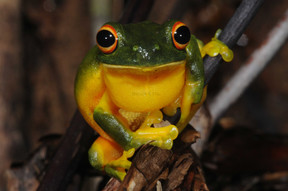 Orange-thighed Frog,  Litoria xanthomera