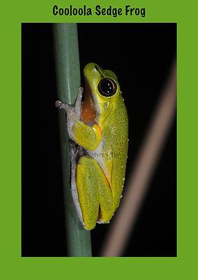 Cooloola Sedge Frog, Nature 4 You, Australian Frog