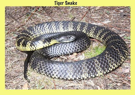 Tiger Snake, Notechis scutatus, reptile, venomous snake, elapid, Nature 4 You